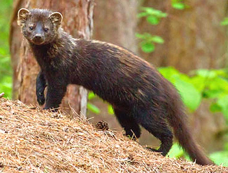 Fisher Cat Management Plan To Be Detailed In Talk Tonight | AllOTSEGO.com