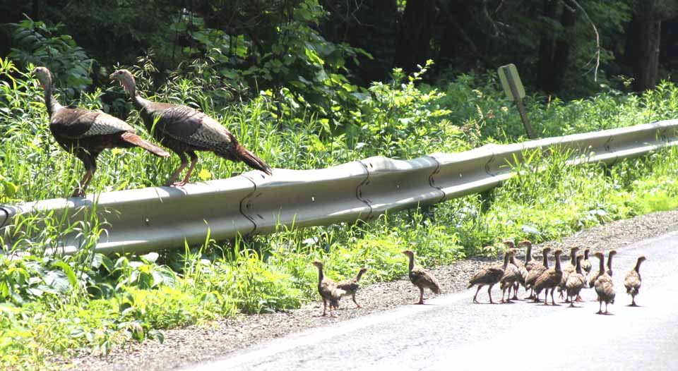 Mom and Pop and their fledgling turkeys stopped traffic on Route 33 near Route 166, Town of Milford, shortly before noon today.  Usually, grown turkeys will scurry across the road as cars approach.  Today, though, the parents walked slowly and sedately across the pavement, to make sure their youngsters could keep up.  (Jim Kevlin/allotsego.com)