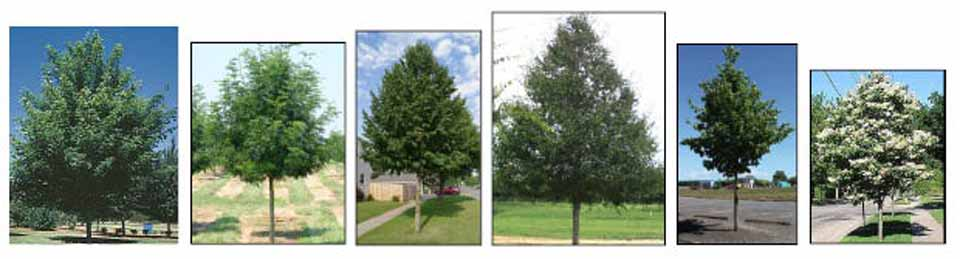 Trees that will be planted in downtown Cooperstown in late October and early November include, from left, Norwegian sunset maples.  Skyline honey locusts.  Harvest gold lindens.  Homestead elms.  Emerald sunshine elms.  Ivory silk lilacs.