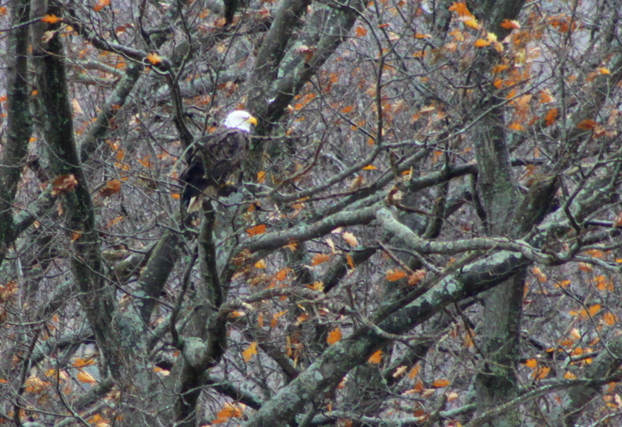 A bald eagle sits in the trees along I-88 near Emmons on Sunday afternoon. (Ian Austin/allotsego.com)