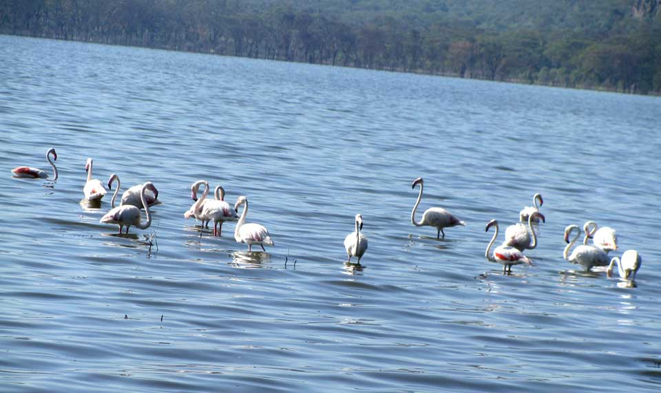 Randy Lamb, Town of Maryland (you may know him as docent at Hyde Hall), just got back from Kenya and sent along this photo he snapped of a flamingo flock at Lake Nakuru .  Read about his trip on Page A2 of this week's newspapers.
