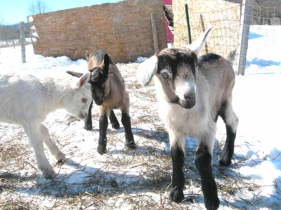 Born this week, three kids gambol in the snow at Lester Flats Farm in Schuyler Lake.  (Kathy Peters photo)