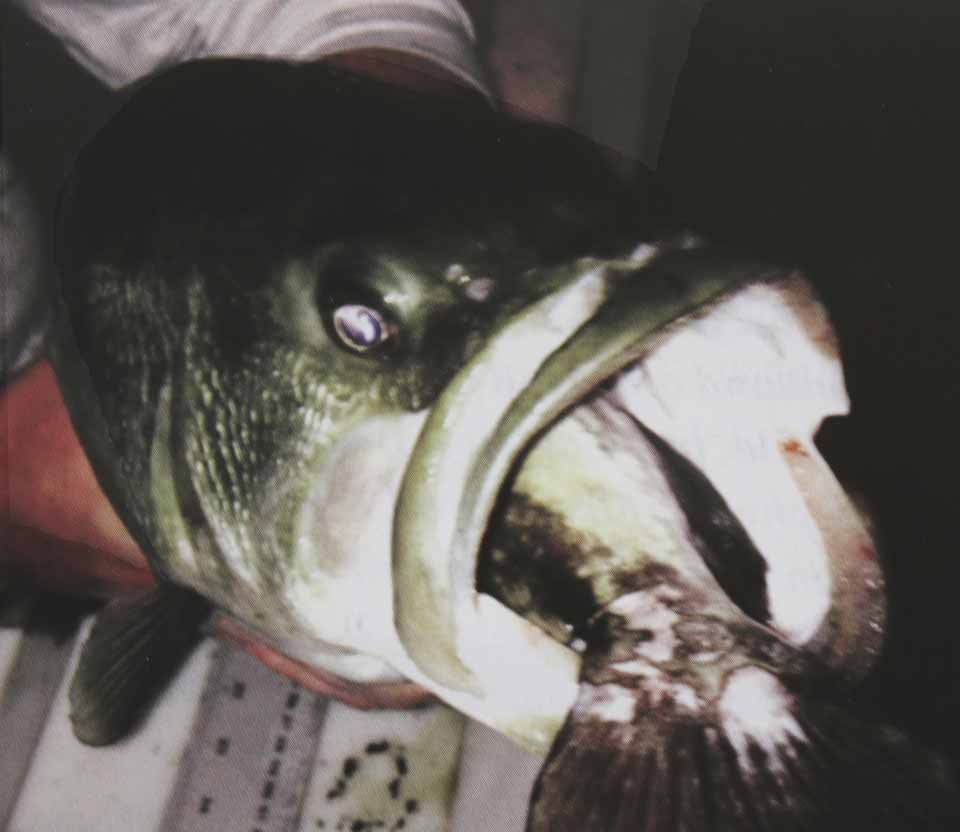 """The latest issue of the Biological Field Station Reporter, which arrived in the mail yesterday, reported on the narrow escape of a black bass culled from Moe Pond with a bullhead stuck in its mouth. """"Given the size and rigidity of the dorsal and pectoral spines bullheads possess, this bass had a good chance of choking to death,"""" the Reporter reported. Moe Pond is on the BFS' Thayer Farm property, above Otsego Lake."""
