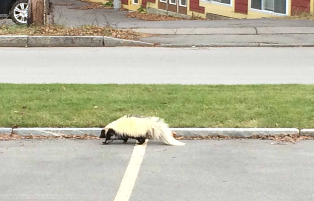 Visitors on Railroad Avenue in Cooperstown got a surprise visit from this skunk late Saturday afternoon, who, after wandering down Railroad Avenue, took a brief turn down Leatherstocking Street, then off to Main Street past Bruce Hall, where Dave LaDuke snapped this photo. Though skunks are normally hibernating this time of year, the weekend's mid-50s weather may have roused this little guy from his slumber.